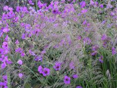 Geranium psilostemon intermingled with Deschampsia 'Goldtau' - Piet Oudolf, photo by Carrie Preston.