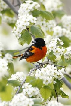 Orioles sing so lovely in the spring! Pretty Birds, Love Birds, Beautiful Birds, Animals Beautiful, Exotic Birds, Colorful Birds, Kinds Of Birds, Backyard Birds, Bird Pictures