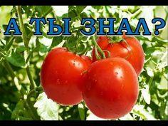 Как вырастить помидоры? - YouTube
