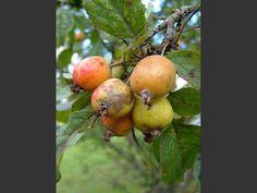 Crab Apple (Malus sylvestris)