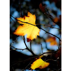 Home decor print. Gold photograph. Bright fall leaves catching... ($14) ❤ liked on Polyvore featuring home, home decor, wall art, autumn tree wall art, photo tree, gold wall art, leaves trees and fall leaves trees