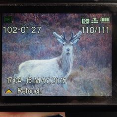 Captured this at the end of the road!#youngstag#reddeer#shyness