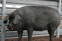 Another large black! This Little Piggy, Hippopotamus, Growing Vegetables, Farm Life, Pigs, Farm Animals, Large Black, Lazy, Creatures