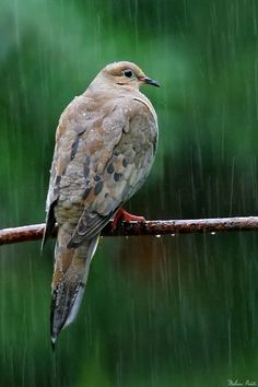 earth-song:    Mourning Dove - Vestal, New York  A shot taken not even a minute before In the Rain of a different dove on a better perch.  Shot through my sliding glass doors.  by © Melissa Mancuso Penta