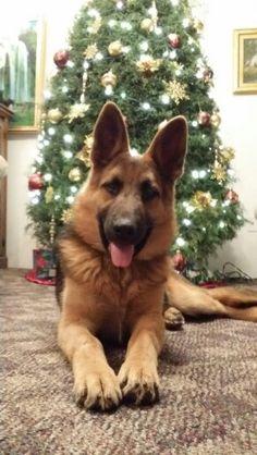 Hi is bomber, German Shepherd, 5 months old.