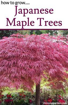 Japanese Maple Trees, Planting Japanese Maple, Pruning Japanese Maples, Japanese Plants, Small Japanese Garden, Chinese Maple Tree, Japenese Maple, Potted Trees, Trees And Shrubs