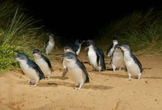 Penguin Parade | Phillip Island