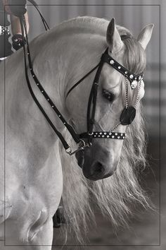 Beautiful white grey horse with a graceful curved down neck and long flowing mane. Pretty horse!
