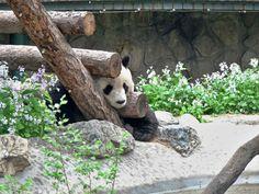 El oso panda, el buque insignia de China.