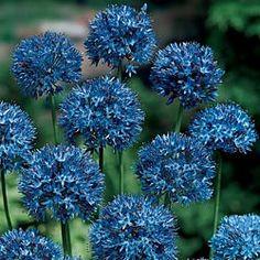 Azure Allium--beautiful