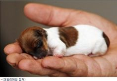 Tiniest Puppy in the World..!! Her name is Miracle, her height is 7.6 cm (3 inch) and she weighs 42 g (1.5 ounce). She is a crossbreed of Jack Russel Terrier and Chihuahua. She looks so cute but also very vulnerable.