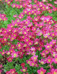 Patjarikko. Ainavihanta, aikainen kukkija(5-6). Korkeus 10- 20