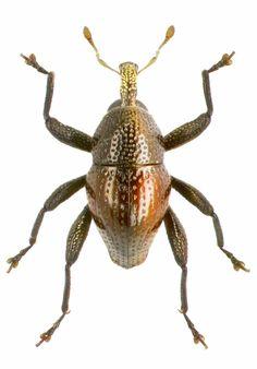 Trigonopterus squamirostris