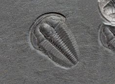 Ehmaniella burgessensis  Trilobites Order Ptychopariida Suborder Ptychopariina, Superfamily Ptychopariacea, Family Alokistocaridae Geologic Age: Early Middle Cambrian Trilobite is 21 mm long Stephen Formation, Burgess Shale, Burgess Pass, British Columbia, Canada Comment: The genus Ehmaniella also comes from the Montana in the United Sates.