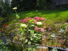 Autumn Sedum Joy and white zinnias. Am thinking to try growing the Autumn Sedum Joy in partial shade, right in front of the house - NE.