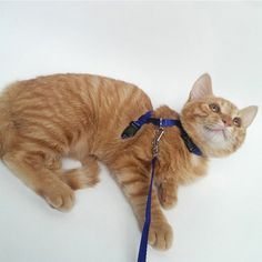 3 Colors Nylon Cat Harness And Leash For Animals Adjustable Pet Traction Harness Belt Cat Kitten Halter Collar Nylons, Cute Dog Clothes, Cat Harness, Dog Bag, Cat Collars, Pet Accessories, Pet Toys, Gatos, Pets
