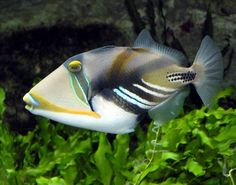 "The Huma Huma Trigger or Rhinecanthus aculeatus is just one of many different species of Triggerfish. In Hawaii this fish is known as ""humu-humu-nuku-nuku-a-puaa"", where it is the official state fish. In other places in the world it is called the Picasso Triggerfish, Whitebanded"