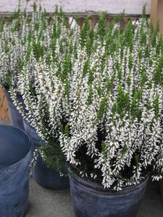 white heather(calluna vulgaris)-protection, wishes will come true in the Victorian language of flowers Moon Garden, Garden Pots, Garden Ideas, Pretty Flowers, White Flowers, Heather Plant, Language Of Flowers, Buy Plants, White Gardens