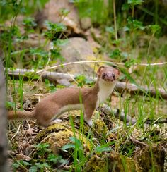 Short-tailed weasels have a few tricks up their sleeves, they hypnotize prey with a spastic dance.  Photo: Short-tailed weasel courtesy of Kurt Bauschardt/Creative Commons.