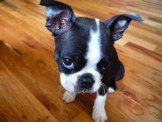 Ella, Boston Terrier