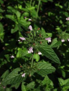 Satureja vulgaris (Wild Basil - native, shade tolerant)