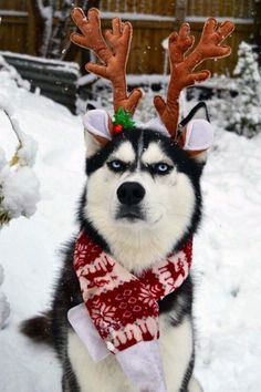 Siberian husky Anusko in the garden wearing reindeer antlers and a scarf