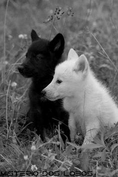 Kerberos and Vatonii as puppies