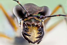 Tiger Beetle portrait and jaws... by Nicolas Reusens on 500px