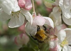 Apiculture : calendrier des travaux - La ruche au printemps (in spring the bees are working at the blossom - all for the good of my garden)