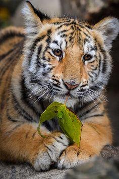 ~~Bengal Tiger Cub by Jasper Gielen~~