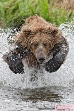 Bear Running in Water