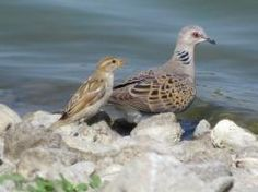 European Turtle-dove (Streptopelia turtur) videos, photos and sound recordings | the Internet Bird Collection | HBW Alive