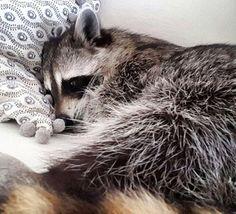"""Esta es la historia de """"Calabaza"""", un mapache que apareció siendo un bebe abandonado en la puerta del jardín de Rosie Kemp de Nassau (Bahamas), hace..."""