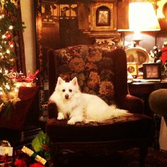 "Blizzard at Christmas.  American Eskimo dog .. . .by mrs_lilly on Instagram. ""Someone is having her portrait painted..."" #Padgram"