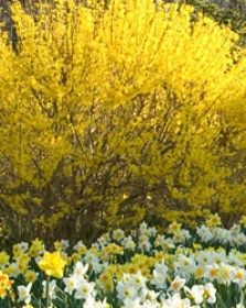 Forsythia~so pretty every Spring~ together with the Daffodils in our yard the yellow just makes me happy!