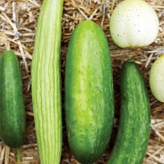 """Cucumbers!     """"We love the round, yellow, mild- flavored Lemon cuke, and the long, pale green Armenian cukes.""""    Plant 5-6 seeds in hills 6-8 inches high and 3-6 ft. apart. Thin to the 2 strongest plants."""