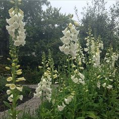 In love with WHITE Foxglove....Digitalis.Alba.....Gardenista Instagram Pick of the Week: @gardenista_sourcebook