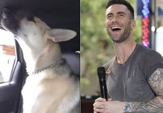 Majestic Pup Reveals Passion For Maroon 5, Busts Into Song Mid-Car Ride