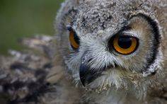 Close Up Owl Wide 1600x1000 Wallpapers
