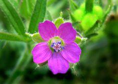 "Geraniales, Geraniaceae, Geranium ""Crane's bill"" (spiral/bilateral, 5 sepals, 5 petals, 5+5 stamens, 5 stigmas)"