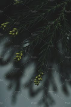 Conifer Branch by emm van emm on @creativemarket