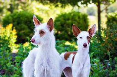 Ibizan Hounds (smooth and wire)