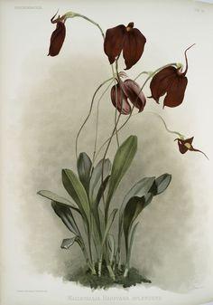 Masdevallia harryana splendens. Reichenbachia. Orchids illustrated and described, by F. Sander ... 1st[-2d] Series. 1888-94. St. Albans: F. Sander & Co.