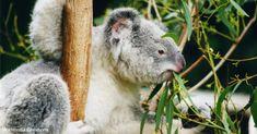 Feuille Eucalyptus, Eucalyptus Tree, Zoo Duisburg, The Wombats, Save Wildlife, Australia Animals, Wildlife Conservation, Animal Welfare, Fleas