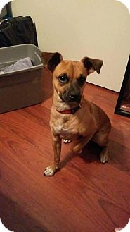 Cape Coral, FL - Chihuahua/Boxer Mix. Meet Tank, a puppy for adoption. http://www.adoptapet.com/pet/17066143-cape-coral-florida-chihuahua-mix