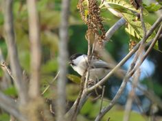コガラ. Willow tit. 5 November 2016.