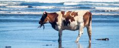 If we add dried seaweed to 2 percent of sheep and cattle feed, we could cut methane emissions by more than 70 percent, scientists have found. Off The Map, Shorebirds, Global Warming, Science And Nature, Livestock, Seaweed, Farm Life, Cattle, Climate Change