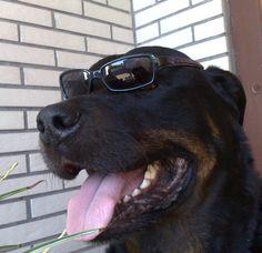 Rottweiler Bomber Hey ich bin Men in Black! Hier wird jetzt nicht Geblitz-Dingst!!! Klar so weit??   #Hund: Bomber / #Rasse: Rottweiler      Mehr Fotos: https://magazin.dogs-2-love.com/foto/rottweiler-bomber/ Foto, Hund