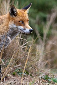 Red Fox by Alex Hibbert   Stocksy United