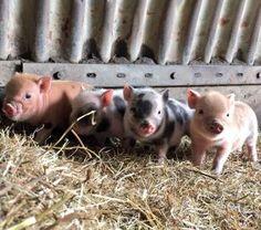 Tiny Pigs, Pet Pigs, Farm Animals, Animals And Pets, Cute Animals, Cute Piggies, Mini Farm, This Little Piggy, Animals Beautiful